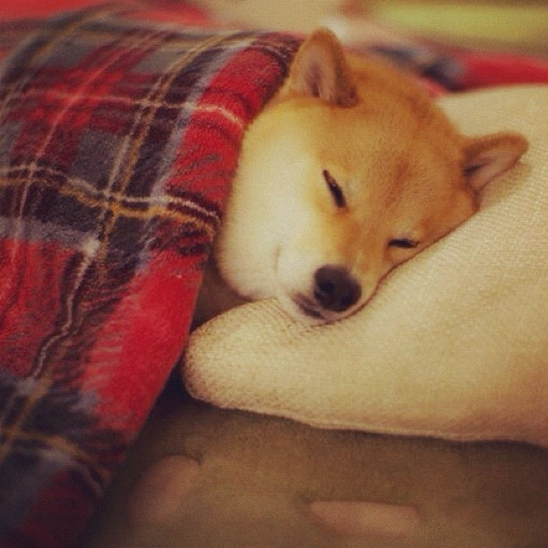 From @marutaro #shibainu #popular #cutest (Taken with Instagram)