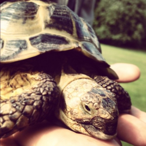 My Little Buddy. #tortoise #shell #reptile #friend (Taken with Instagram)