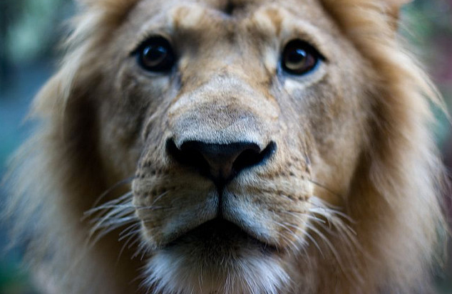 lion-nation:  By roorie on flickr.