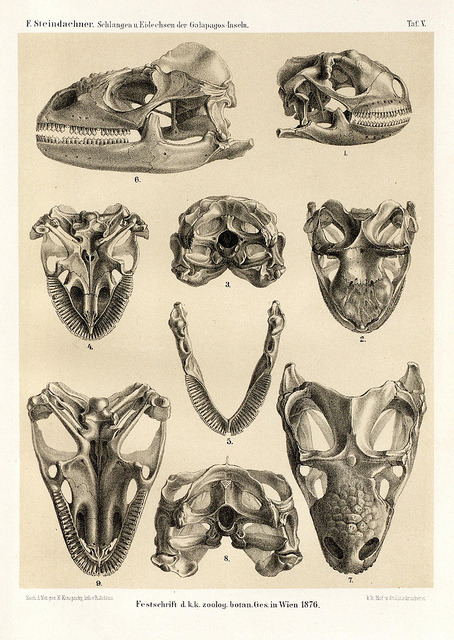 Skulls of the Marine Iguana (Amblyrhynchus cristatus) by BioDivLibrary on Flickr. Die schlangen und eidechsen der Galapagos-inseln /.Wien :K.K. Zoologisch-botanischen gesellschaft,1876..biodiversitylibrary.org/page/40166996