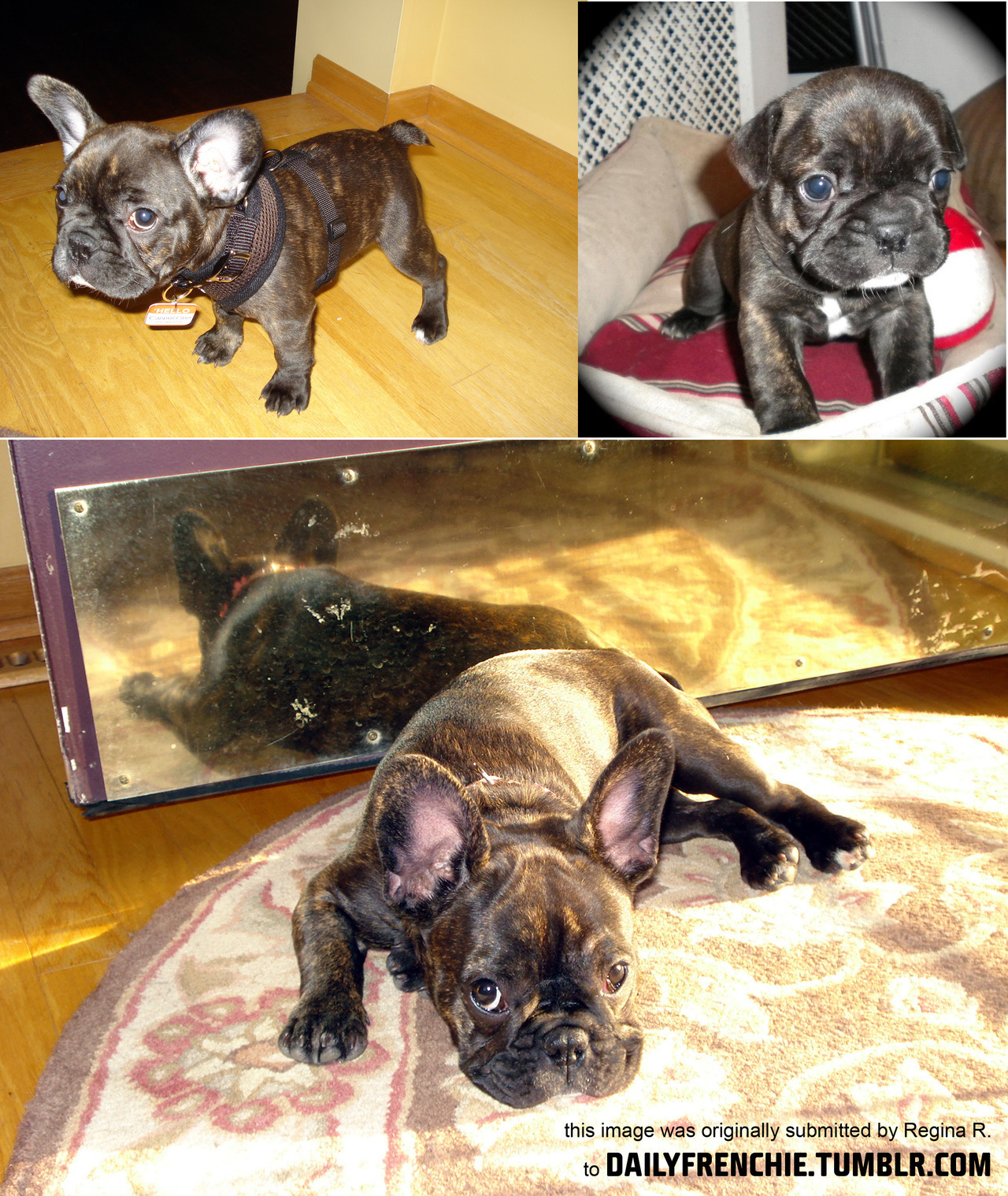 awwww shes a cutie! dailyfrenchie:  Cappuccino is 6 month bridle Frenchie. She loves sticks and the sun and has brought so much job to her humans' lives. by Regina