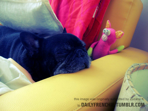 dailyfrenchie:  This is Krapula in his favourite position. He is 11 and still as fresh as a daisy :) by Zuzana
