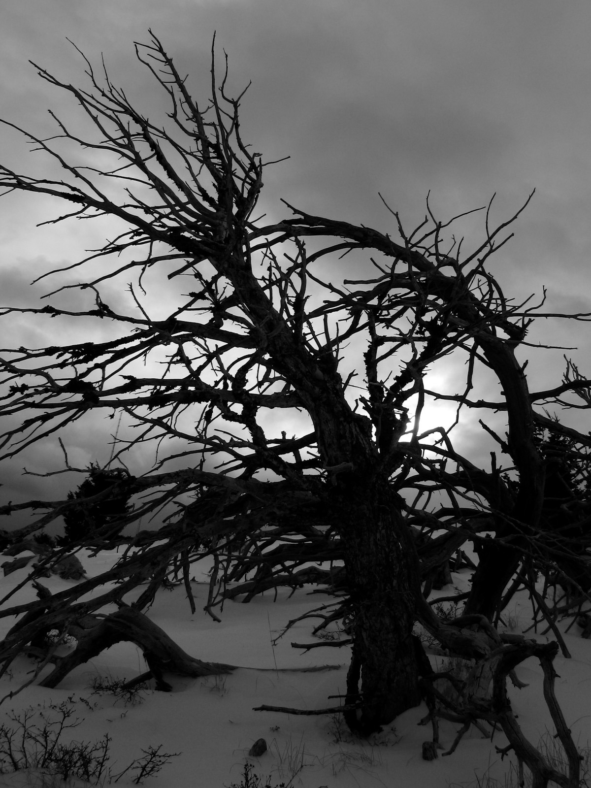 Dead tree on Tiger Butte, Montana