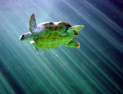 Sea turtle, Two Oceans Aquarium, Capetown (by -tomaso-)