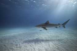thelovelyseas:  Tiger Shark at Tiger Beach in the Bahamas by alastair.pollock on Flickr.