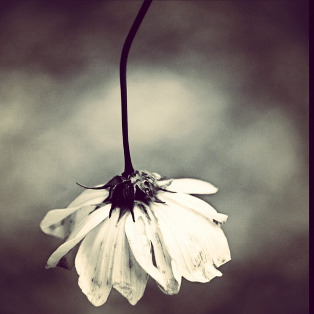 whosaysicantdowhatiwant:  #flower #upsidedown #sadness #upset #worthless #dead #darkness (Taken with Instagram)