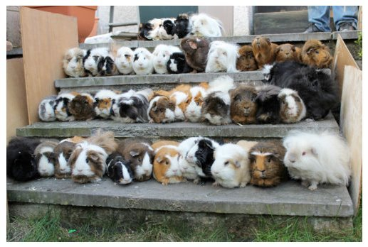 guineapigsinhats:  GUINEA PIGS…GOTTA CATCH 'EM ALL!