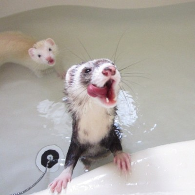 makin5:  ふたりでぺろっ #bathtime #ferret #petstagram #instaferret #フェレット #animal (Instagramで撮影)