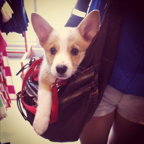 corgiaddict:  Shopping with mama @kimah. Submitted by: lovealwaystrace