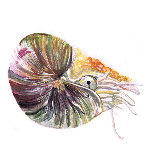 Chambered Nautilus. (naomese) Fantastic Art Friday C: