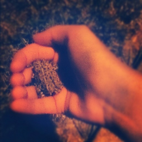 The little toads are growing up. #toad #nature (Taken with Instagram)