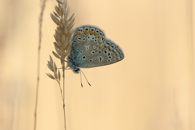 Common Blue (Polyommatus icarus) *** Explored *** by Johan van Beilen on Flickr.