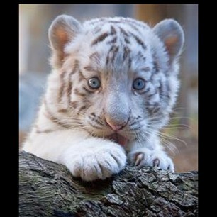 I want a baby tiger!!         #Baby   #Tiger   #Pets   #cute   #adorable   #blue   #blueeyes   #animals   #nature   #wild   #zoo   #virginia   #white   #dogs   #lol   #tiny   #love   #soft   #madagascar   #picture   #babytiger