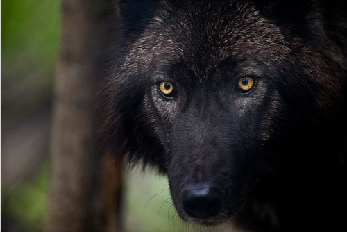 wolveswolves:  By Dan Newcomb Photography on Flickr