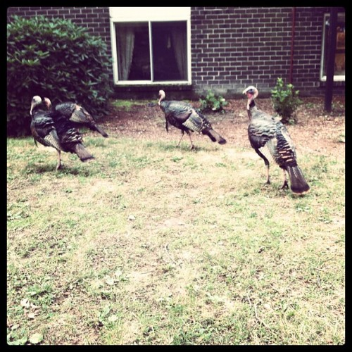 this reminds me of my town turkeys everywhere!!! thanks Lydia ha