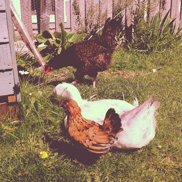 Buddies in the garden - Dino, Golly and Bombur.  Dino is a maran, Golly is a goose (don't know which type) and Bombur is a millefleur barbu d'uccles bantam. SMALLEST CHICKEN EVER