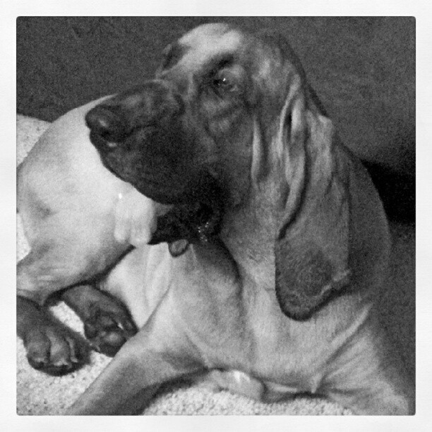 Portrait time. #bloodhound #instapet #dogs #puppy (Taken with Instagram)
