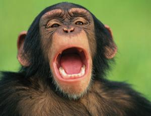 (via Chimps catch yawns from dominant males - life - 25 July 2012 - New Scientist) A fascinating study. It shows that members (both male and female) of a chimp society pick up on the male members' yawns much more than on the yawns of females in the group. Chimps are patriarchal to the extreme, so this, of course, makes sense. With male dominance for approximately 2 million years, it seems a self-imposed evolutionary twist has occurred within this species. I would guess yawning is just the tip of the iceberg. I think there are many implications inherent to this confirmation.It is always interesting to see studies come forth which emphasize specific points which may seem readily apparent to many.