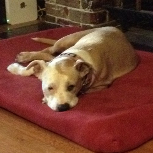 Daisy does not want to deal with my crap today. (Taken with Instagram)