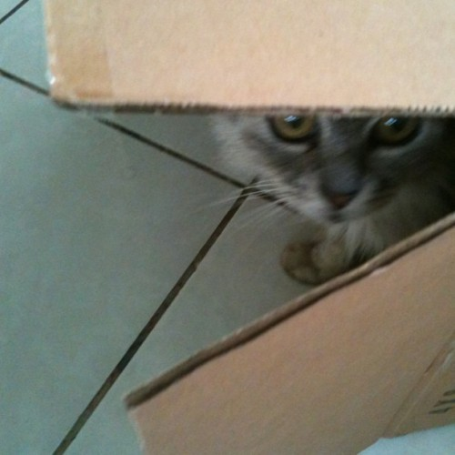 Welcome to my cardboard clubhouse! #adorable #cat #pet #feline #mascot #box #cardboard #clubhouse #peekaboo (Taken with Instagram)