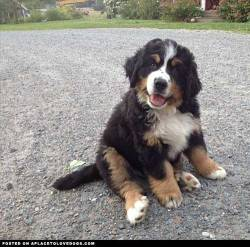imgur Bernese Mountain Dog puppy Enya of all names ;) Original Article