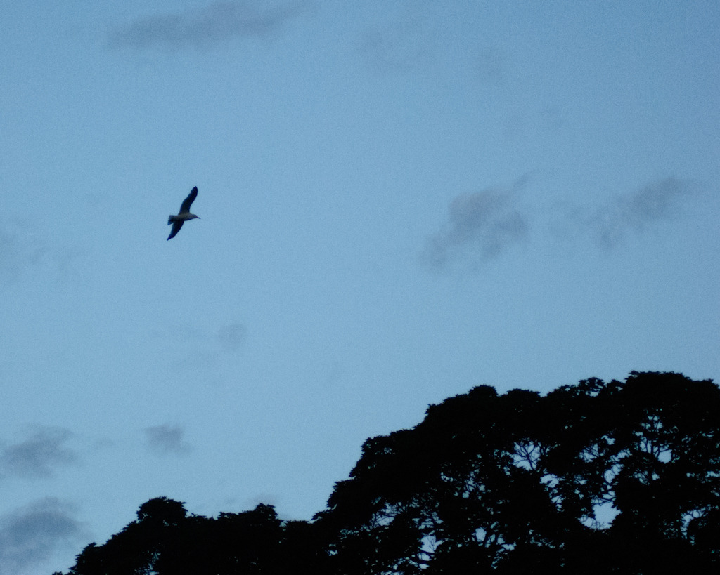 A bird in flight at almost sunrise.