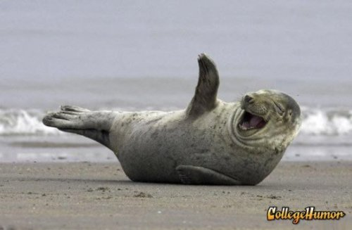 Laughing Seal  ROFLMAO