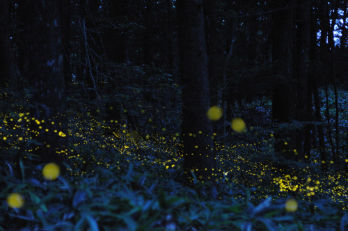 mpdrolet:  Time-lapse photos of fireflies by Tsuneaki Hiramatsu