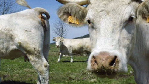 mothernaturenetwork:  Cows' happiness is target of UK studyScientists are studying how dairy cows interact with each other, in the hope of finding ways of making them happier and more productive.
