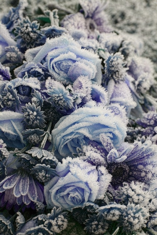 c0caino:  frozen flowers