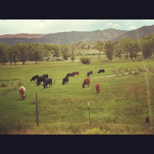 naturalinspirations:  Cows! :) gonn write my story soon. You can find it on my tumblr :) link is on my instagram profile :) #story #cows #animals #field #tumblr  (Taken with Instagram at Dixie National Forest)