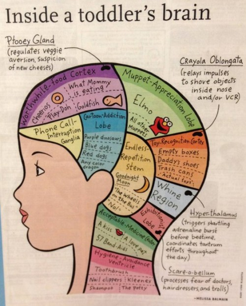 """Inside a toddler's brain"" — This really is pretty accurate.  (From Sipping Lemonade)"