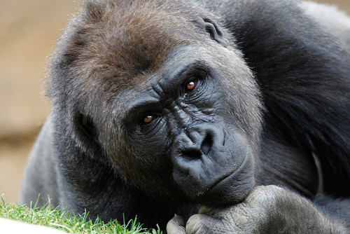 l0st-li0ns:  Gorilla_F9P0583 by day1953 on Flickr. PLEASE DO NOT REMOVE CREDIT! Animal blog