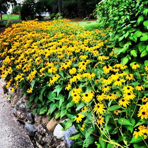 #flowers #yellow #nature #leaves #green #grass (Taken with Instagram)