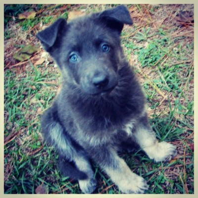 I WANT ONE SUPER BADLY!!! #germanshepherddog (Taken with Instagram)