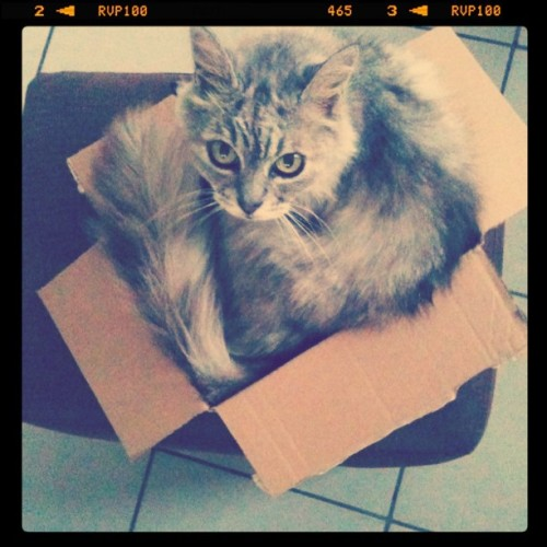 Natural born model #cat #model #pet #box #feline (Taken with Instagram)
