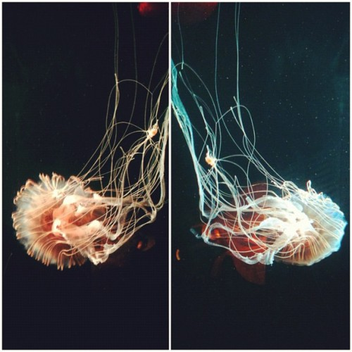 redhotrevelation:  Jellies (Taken with Instagram)