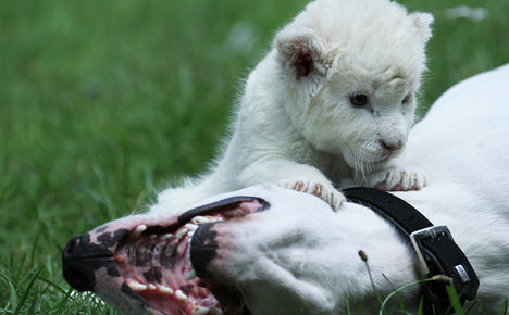 Daddy dog adopts lion cub