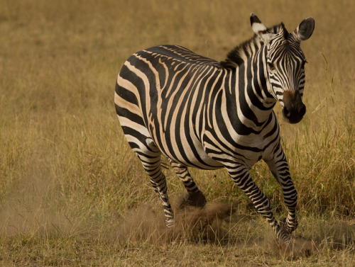 wild-earth:  Zebra on the move