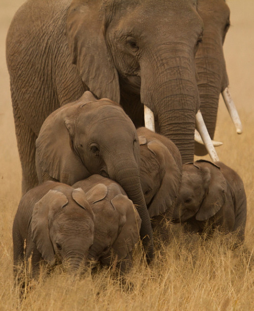 wild-earth:  Afican Elephant