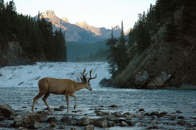 thecanadablog:  Mule deer at Bow Falls by nagillum on Flickr.