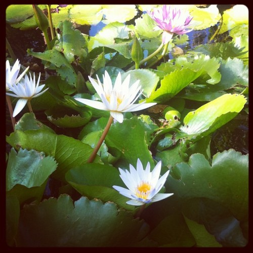 Lotus (Taken with Instagram at Plantation Gardens)