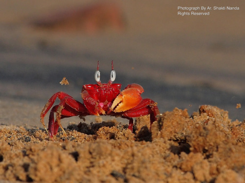 llbwwb:  Red Fiddler Crab Throwing Sand @ Baliharichandi, Konark (by Ar.Shakti Nanda (Busy))