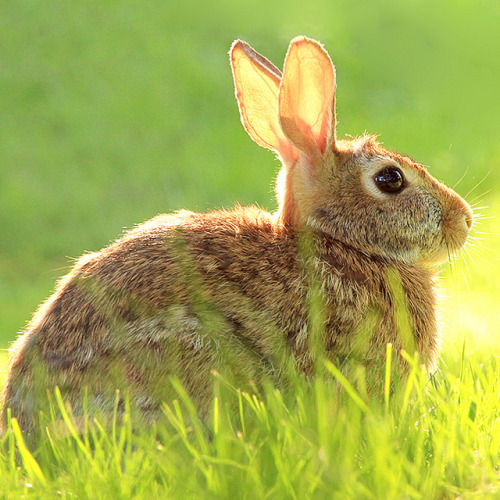 worldlyanimals:  Backyard Bunny (Shandi-lee)