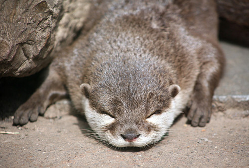 worldlyanimals:</p> <p>Asian Short-Clawed Otter (sometimesong)<br />