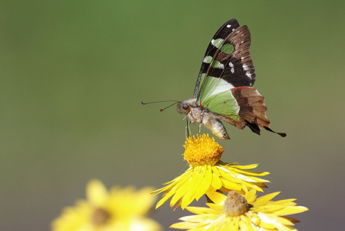 animals-animals-animals:  Macleay's Swallowtail (by 0ystercatcher)