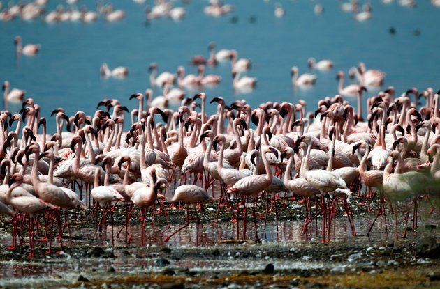 Flamingos are pictured on the shores of Lake Bogoria Goran Tomasevic / Reuters