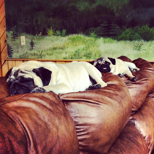 Tough life. #pugs #pug #puglife  (Taken with Instagram)