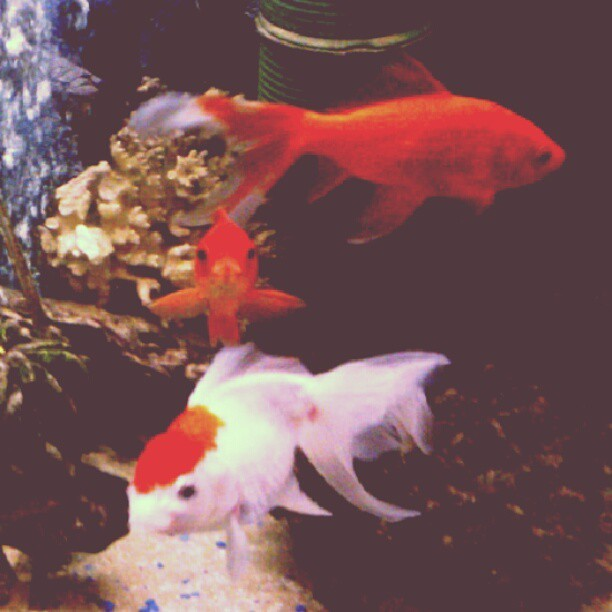 #goldfish #gold #fish #water #sushi #orange #white #sunny #instagram #Instagood #instasummer  (Taken with Instagram)