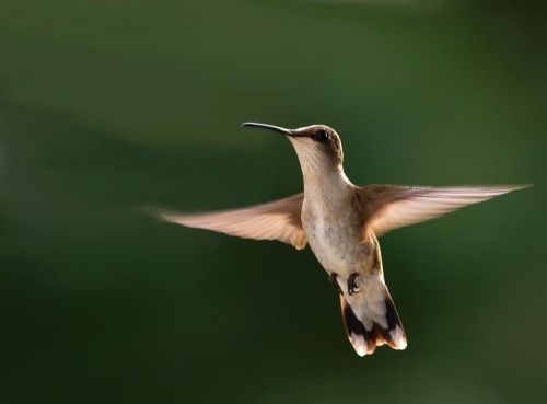 A female Ruby-throated Hummingbird in Shenandoah National Park uses its angelic-like wings to hover as it searches for the perfect flower to draw nectar from. Enjoy them while they're around; by early fall they're bound for Central America, with many crossing the Gulf of Mexico in a single flight!